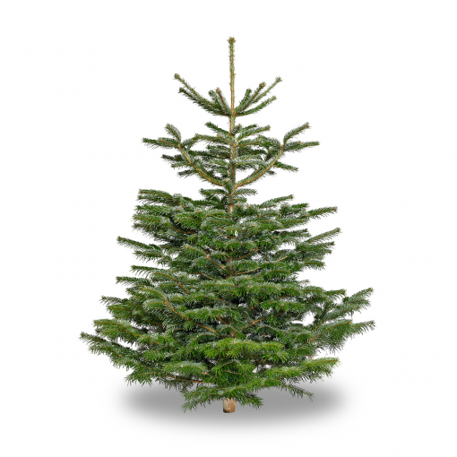 Nordmann Fir - 9 Foot Christmas Trees Howth, Swords, Malahide Portmarnock